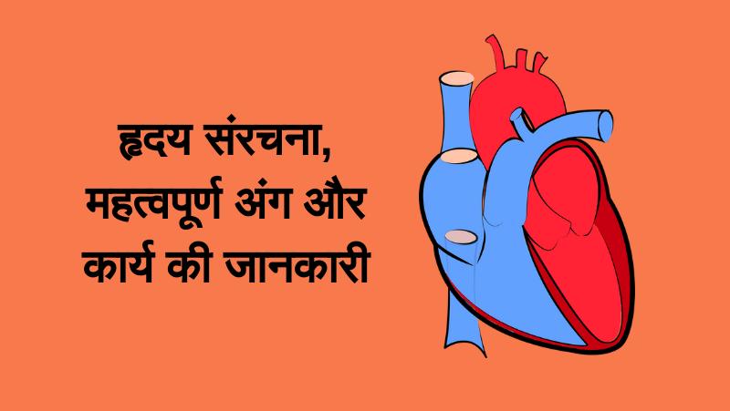 मानव हृदय की संरचना, कार्य, कोष्टकऔर कपाट